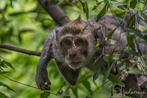 Monyet Cekit3FB