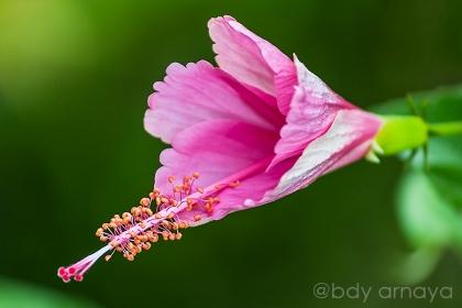 Kembang Sepatu (Hibiscus rosa-sinensis L.)
