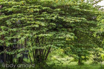 Pohon Singapure FB IMG_5429