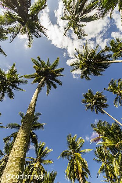 Pohon Kelapa Tetangga :lol:
